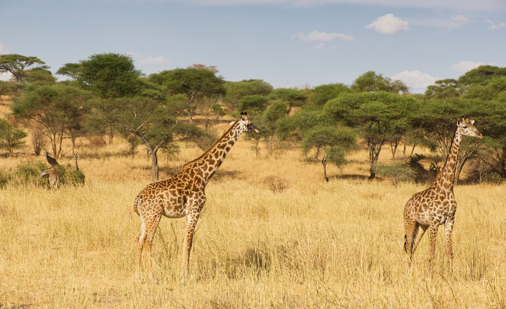 Safari en Tanzanie : tout savoir avant de partir