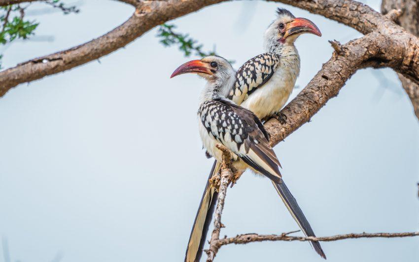 Oiseaux à Samburu au Kenya