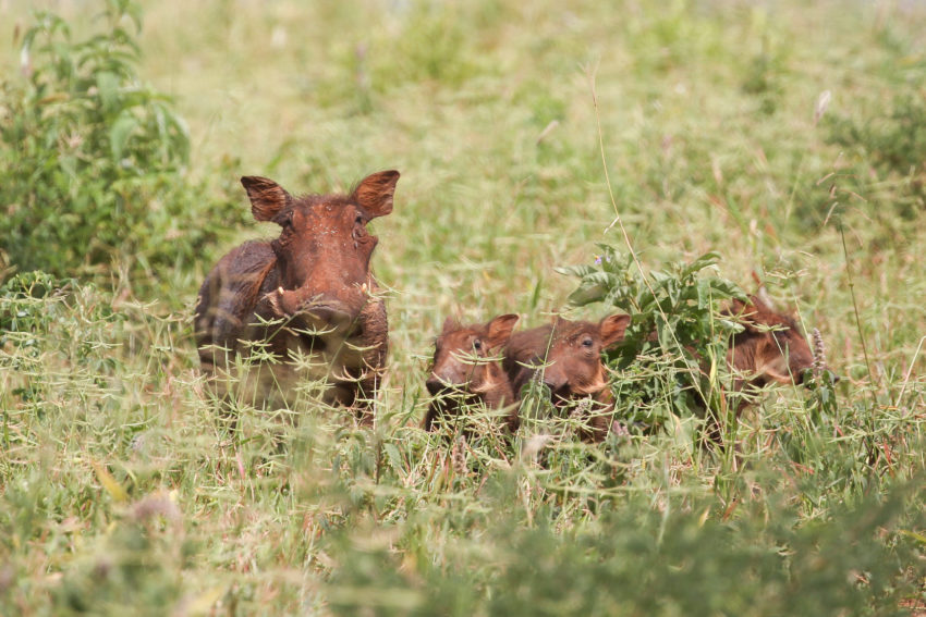 des cochons dans le serengeti en tanzanie