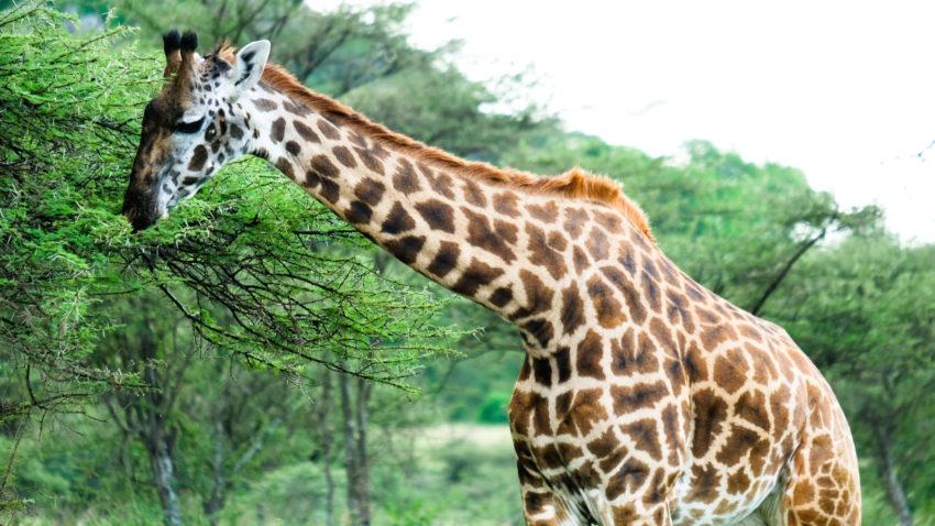 girafe en tanzanie