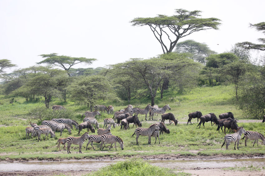 gnous zèbres serengeti
