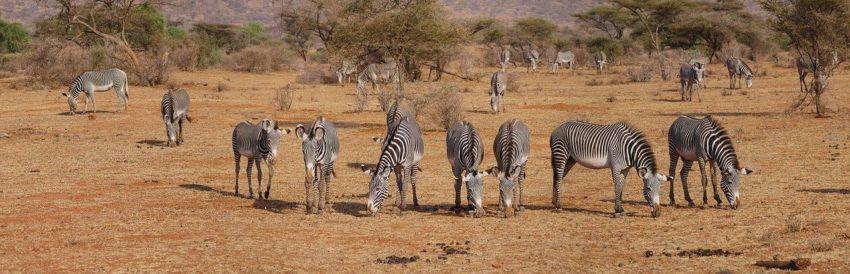 Zèbres Kenya