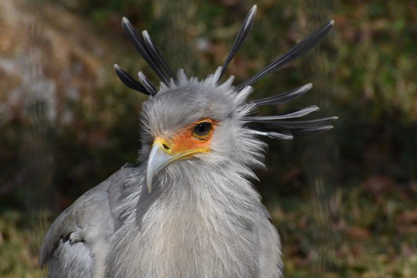 l'oiseau secrétaire afrique