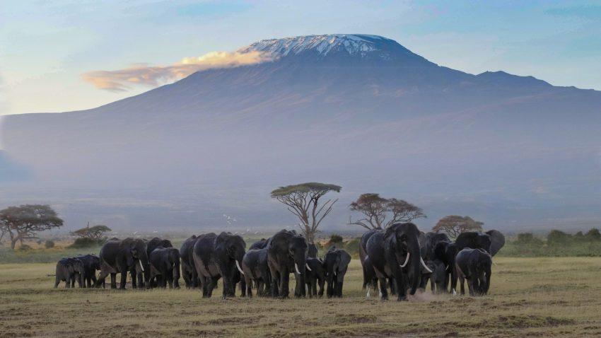 les éléphants au pied du kilimanjaro