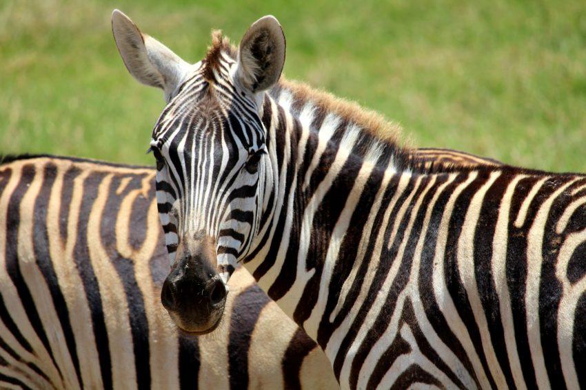 zebre amboseli kenya