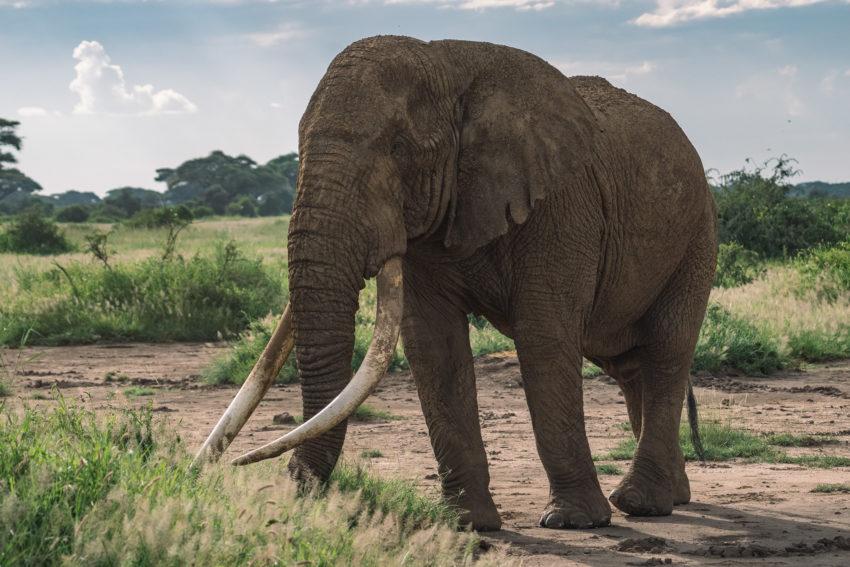 elephant in kenya at Amboseli