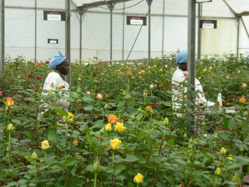 plantation de fleurs à Naivasha au Kenya