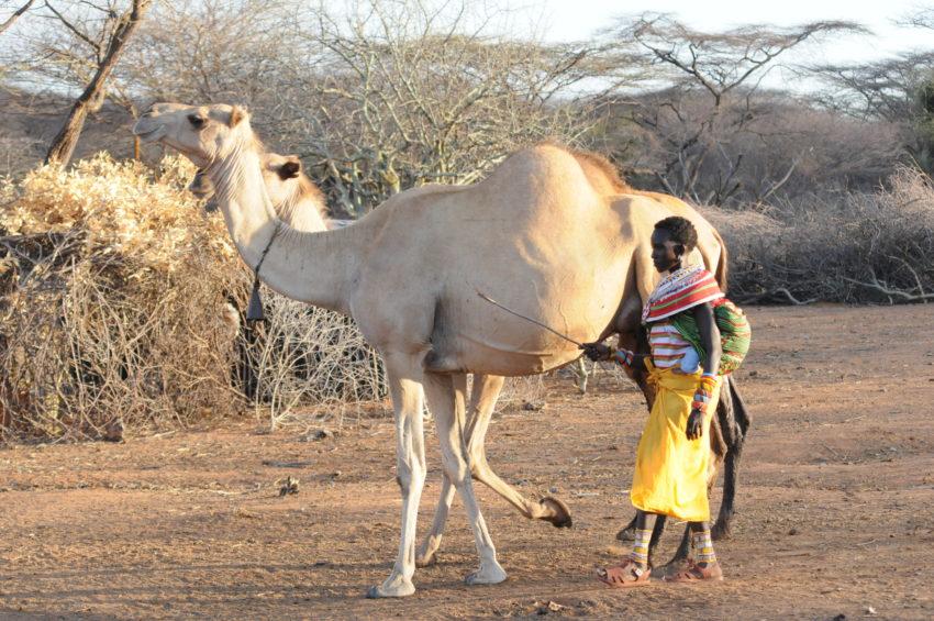 kenya samburu chameau